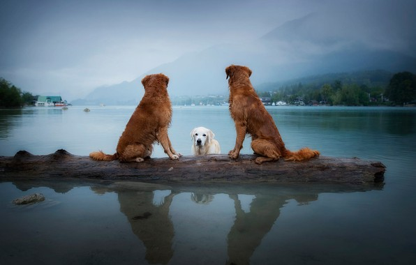 Picture dogs, the sky, look, landscape, mountains, nature, pose, fog, lake, reflection, tree, shore, bathing, three, …