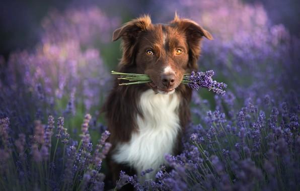 Picture look, nature, animal, dog, a bunch, lavender, dog, the border collie
