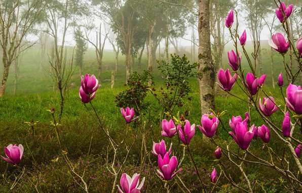 Picture forest, trees, flowers, branches, nature, fog, Park, Bush, spring, pink, flowering, Magnolia
