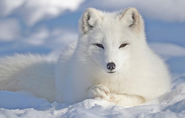 Picture winter, white, eyes, look, face, snow, nature, pose, portrait, paws, muzzle, Fox, tail, the snow, …