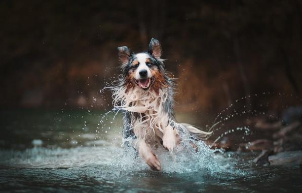 Picture water, squirt, dog, running, Australian shepherd, Aussie