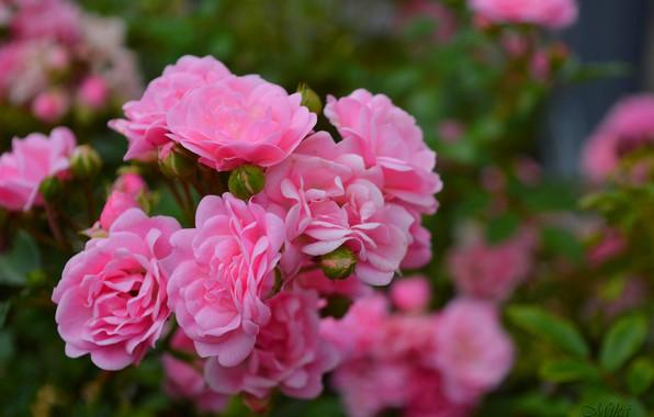 Photo Wallpaper Roses Pink