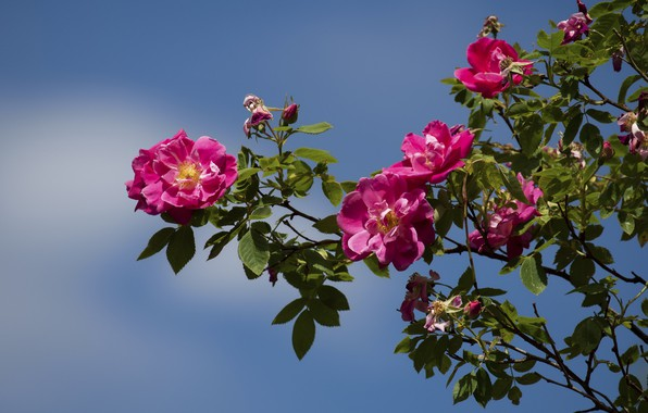 Picture the sky, Bush, roses