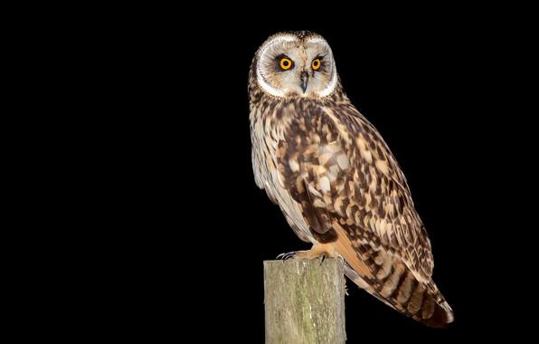 Picture owl, bird, post, feathers, black background, Asio flammeus, short-eared owl, Coruja-do-nabal