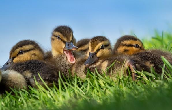 Picture grass, birds, duck, ducklings, Chicks