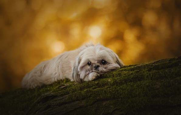 Picture autumn, look, yellow, nature, pose, background, tree, moss, portrait, dog, lies, log, bark, face, dog, …