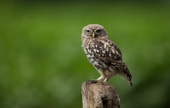 Picture bird, column, little owl
