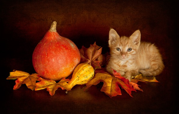 Picture autumn, cat, look, leaves, pose, the dark background, kitty, harvest, baby, red, muzzle, pumpkin, lies, …
