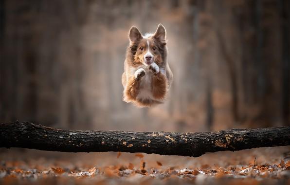 Picture autumn, jump, dog, log, bokeh, doggie, The border collie