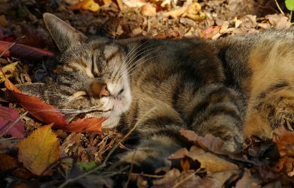 Picture autumn, cat, cat, leaves, sleep, sleeping, cat