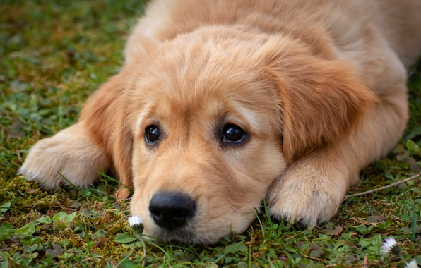 Picture sadness, eyes, look, face, glade, dog, paws, baby, puppy, lies, doggie, Retriever, Golden Retriever
