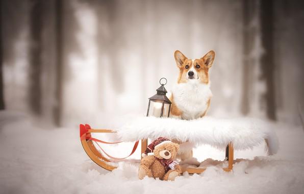 Picture winter, dogs, snow, lantern, bear, sleigh, sled, bokeh, Teddy bear, Welsh Corgi