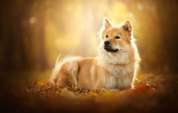 Picture leaves, foliage, portrait, dog, red, bokeh