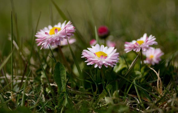 Picture grass, flowers, bokeh, Daisy