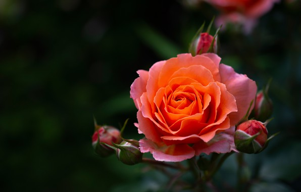 Picture macro, background, rose, petals, buds