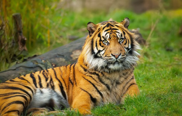 Picture grass, tiger, pose, glade, lies, log, green background