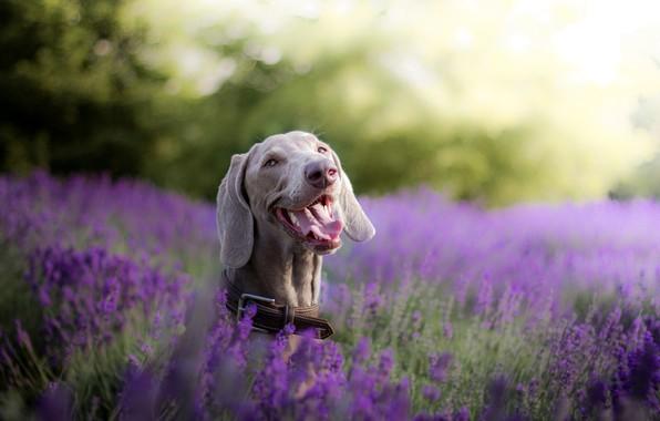 Picture face, joy, dog, lavender, bokeh, The Weimaraner, Weimar pointer