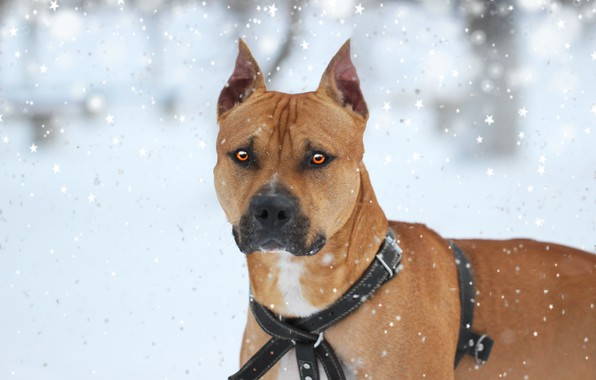 Picture winter, each, dog, pit bull