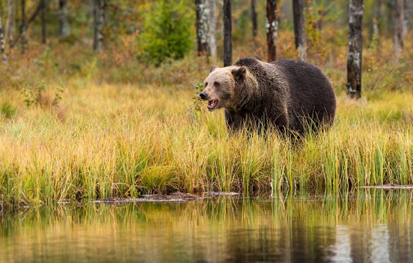 Picture autumn, forest, grass, trees, nature, lake, reflection, river, trunks, shore, bear, bear, mouth, the bushes, …