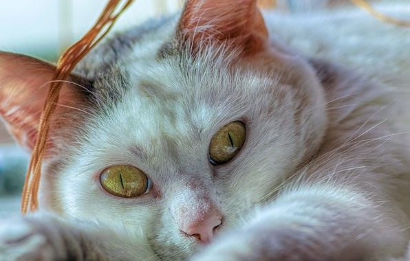 Picture cat, eyes, look, close-up, muzzle, cat