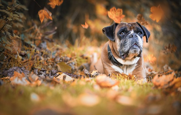 Picture autumn, face, nature, animal, dog, falling leaves, dog, boxer