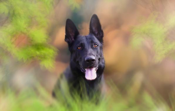 Picture look, background, dog, shepherd