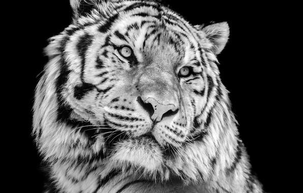 Picture close-up, tiger, photo, portrait, predator, black and white, black background