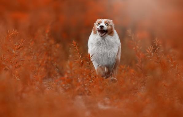 Picture grass, joy, dog, running, walk, bokeh, Australian shepherd, Aussie