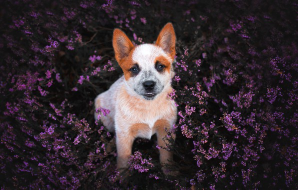 Picture flowers, smile, glade, dog, puppy, Heather