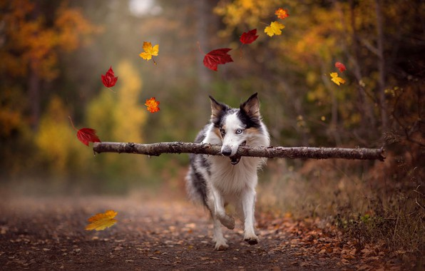 Picture road, autumn, forest, leaves, trees, nature, pose, Park, background, foliage, dog, branch, running, walk, falling …