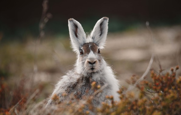 Picture grass, eyes, look, fright, Hare