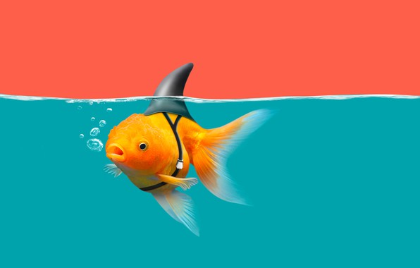Picture water, goldfish, shark fin