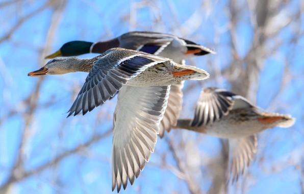 Picture birds, duck, flight