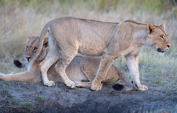 Picture nature, pose, two, pair, lioness, lioness, two lionesses