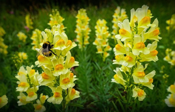 Picture yellow, bumblebee, snapdragons