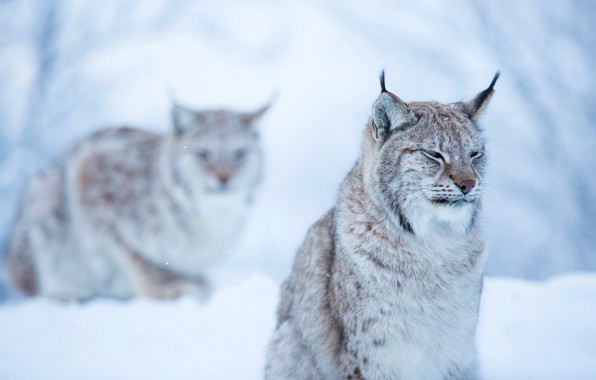 Picture winter, forest, cat, face, snow, background, snow, two, lynx, sitting, lynx, dissatisfaction, wild
