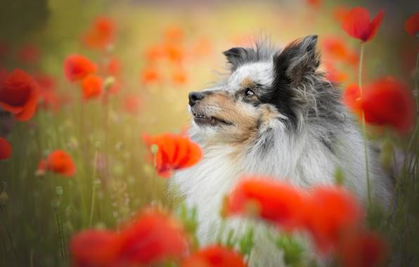 Picture face, flowers, Maki, portrait, dog, Sheltie, Shetland Sheepdog