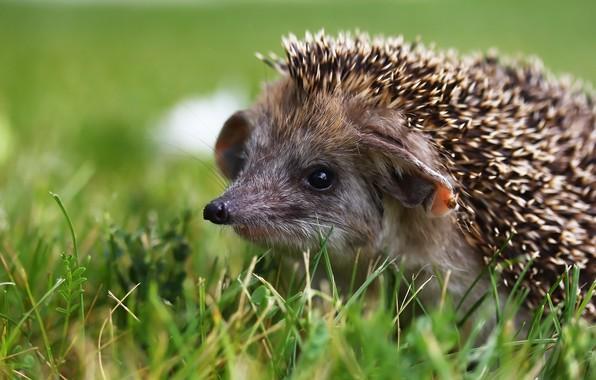 Picture greens, needles, hedgehog, weed
