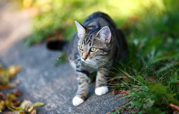 Picture cat, grass, cat, look, face, leaves, pose, grey, blur, sitting, striped, path