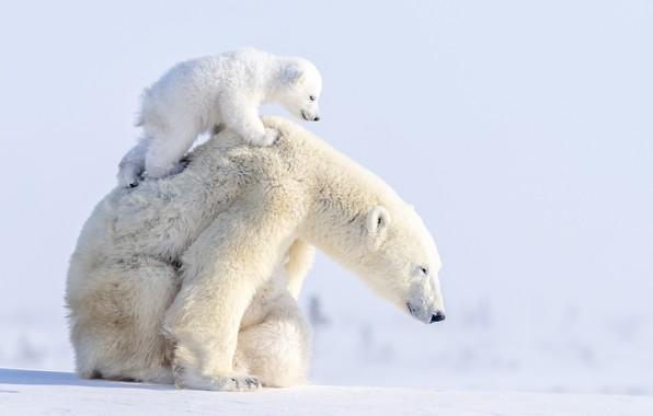 Picture winter, animals, snow, predators, bears, bear, cub, bear