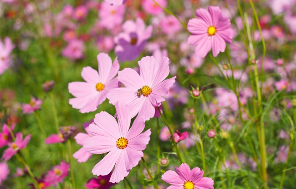 Picture field, summer, flowers, colorful, meadow, summer, pink, field, pink, flowers, cosmos, meadow