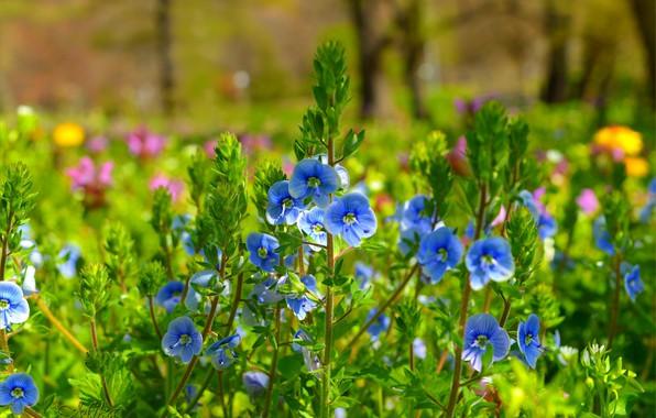 Picture Nature, Spring, Nature, Spring, Blue flowers, Blue flowers, Veronica Dubravnaya