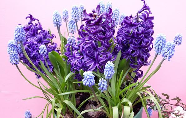 Picture purple, bouquet, flower, Hyacinth