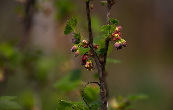 Picture branches, green leaves, foliage, ladybug, currants, flowers currant