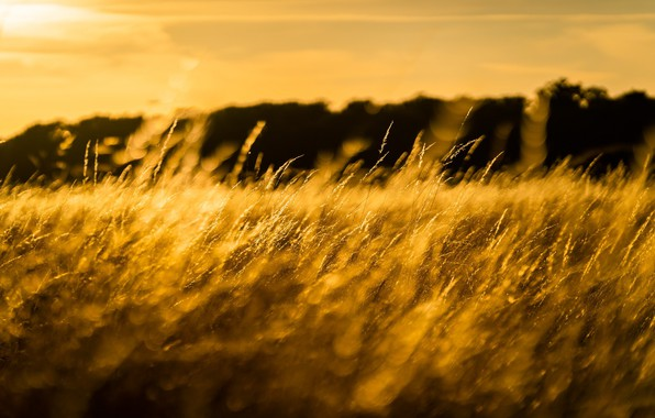 Picture field, grass, the sun, macro, light, spikelets, meadow, gold
