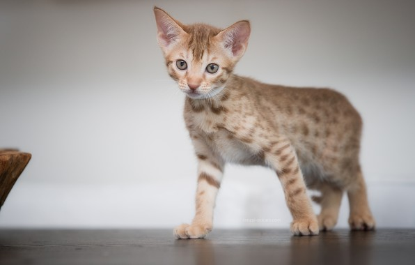 Picture look, background, kitty, Ocicat
