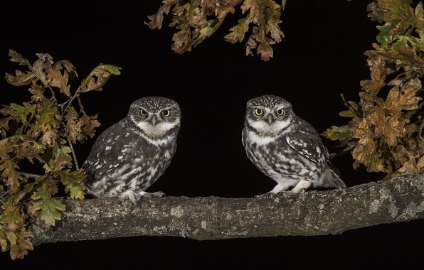 Picture night, owl, branch, pair