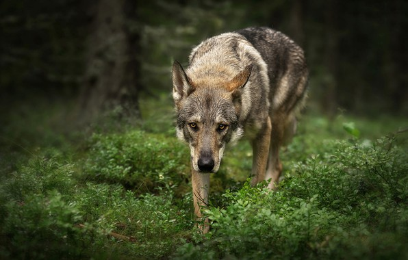 Picture forest, grass, look, face, leaves, trees, nature, pose, green, the dark background, grey, background, wolf, …