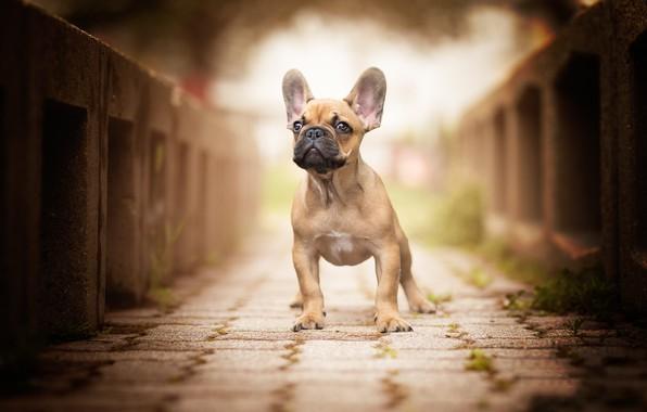 Picture bridge, dog, ears, face, bokeh, French bulldog