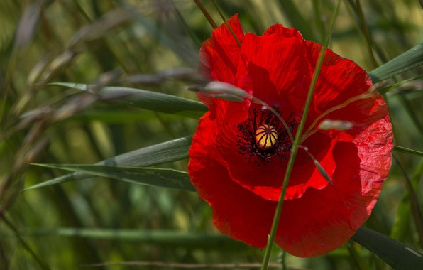 Picture flower, summer, grass, leaves, macro, light, red, Mac, Maki, petals, green background